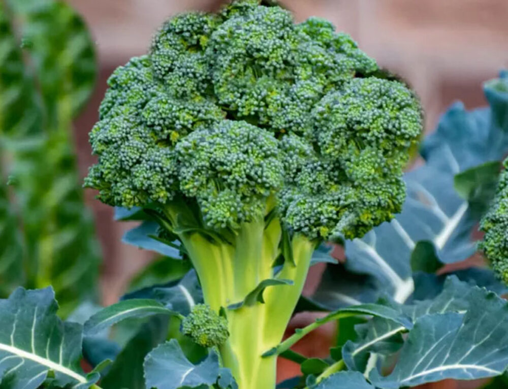 Top 12 Health Benefits of Broccoli